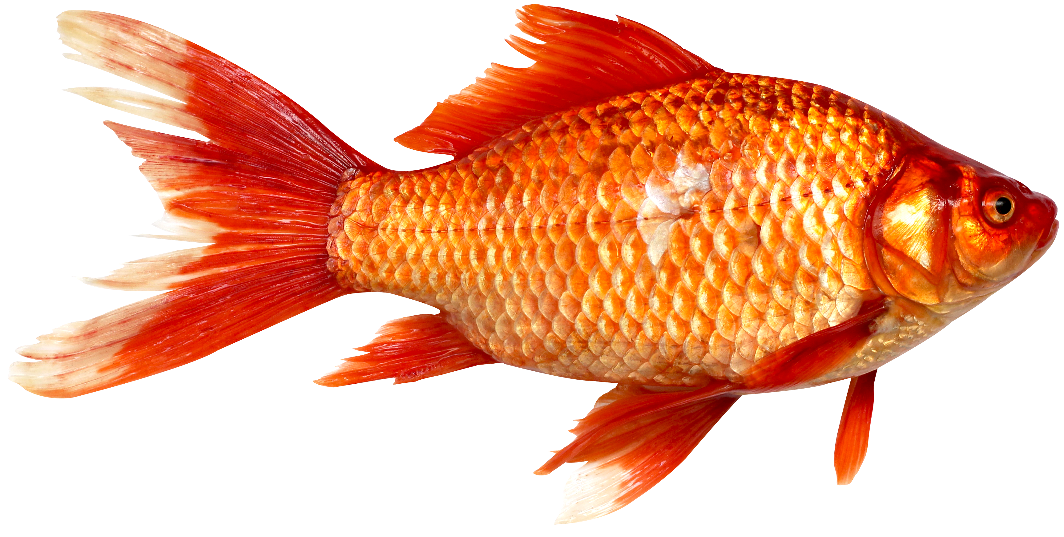 Fish png image pngpix for What fish is this