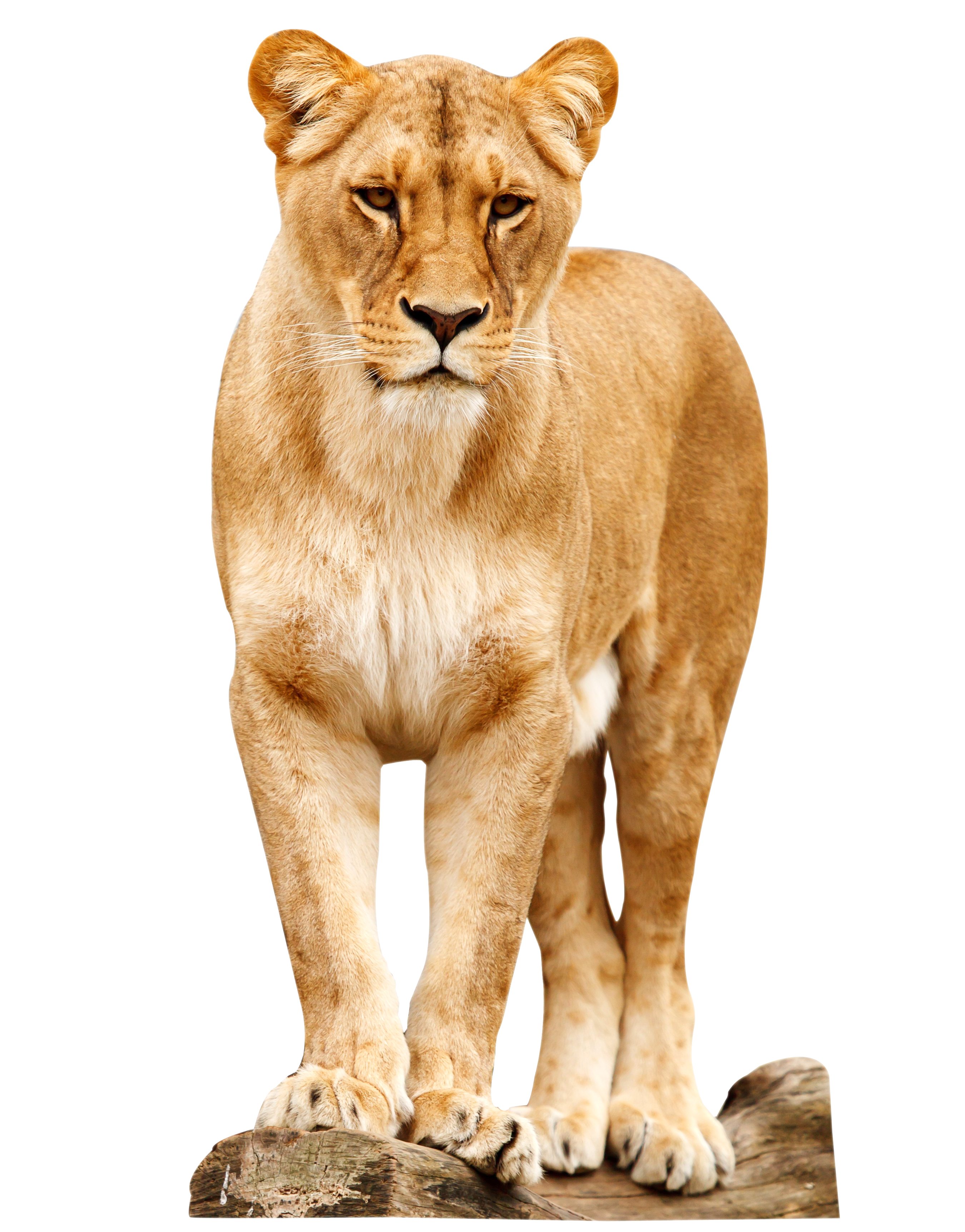 lion standing png image pngpix mountain lion clip art free mountain lion black and white clipart