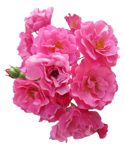 Bunch Pink Rose Flower PNG Image