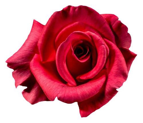Red Rose Flower Top View PNG Image