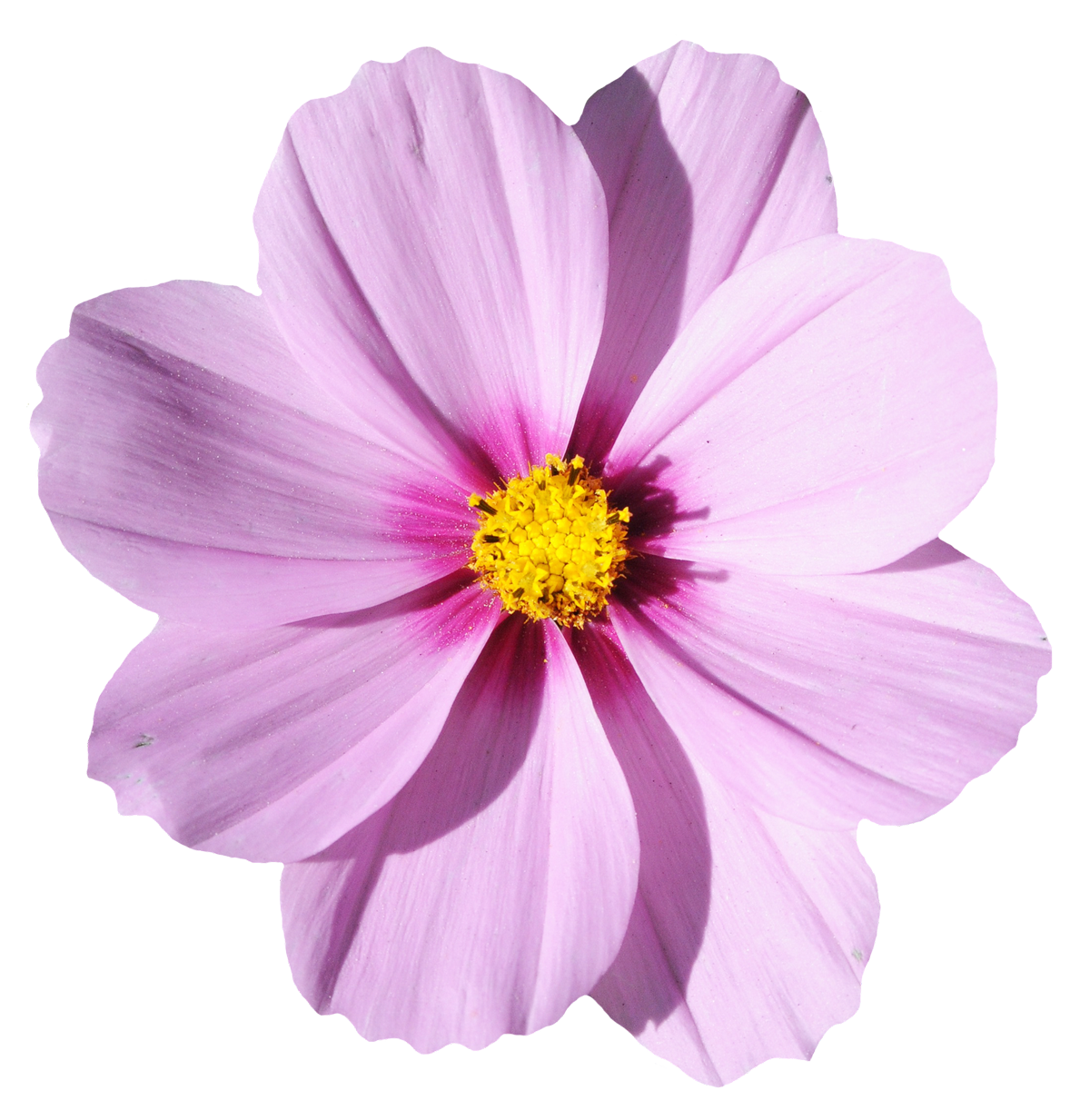 Flower Transparent Background to Pin on Pinterest PinsDaddy