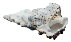 Ocean Shell PNG Transparent Image