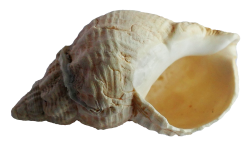 Sea Shell PNG Transparent Image