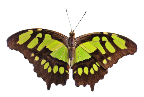 Butterfly PNG Transparent Image