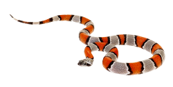 False Coral Snake PNG Transparent Image