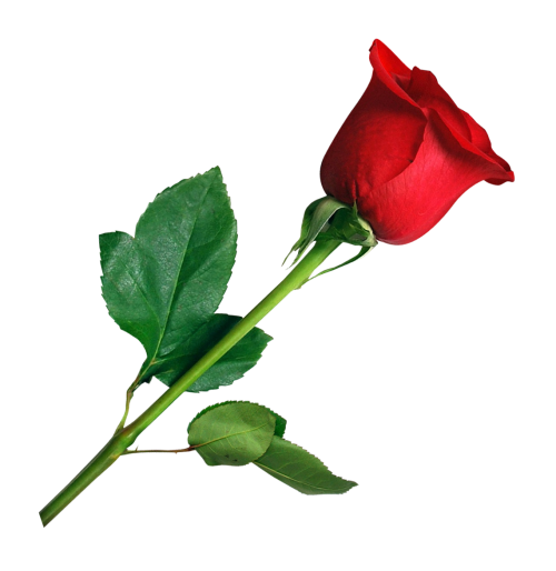 Rose PNG Transparent Image
