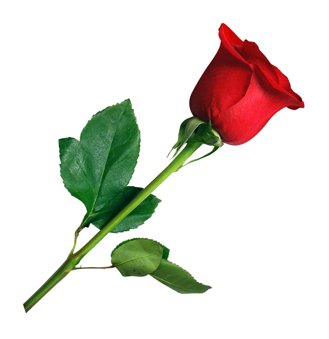 Rose PNG Images - PngPix for Transparent Png Images Roses  66pct
