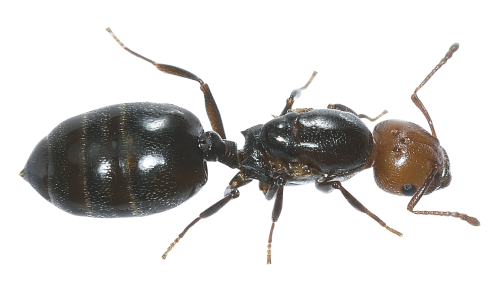 Ant PNG Transparent Image