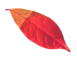 Autumn Leaf PNG Transparent Image