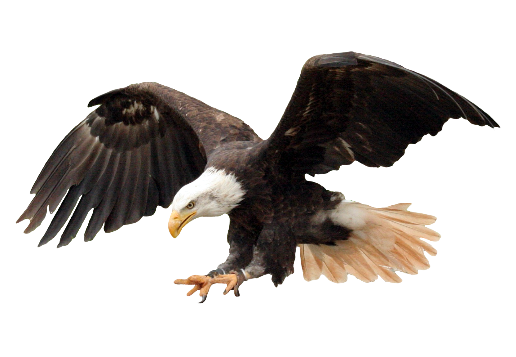 Bald Eagle PNG Transparent Image - PngPix