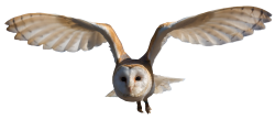 Barn Owl PNG Transparent Image