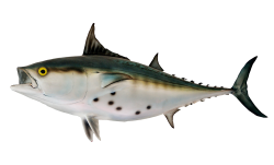 Bonito Fish PNG Transparent Image