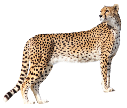Cheetah PNG Transparent Image