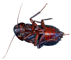 Cockroach PNG Transparent Image
