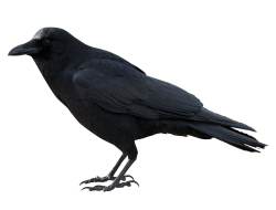 Crow PNG Transparent Image