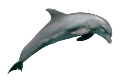 Dolphin PNG Image
