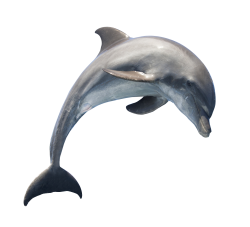 Dolphin PNG Transparent Image