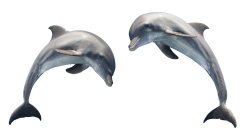 Dolphin Transparent PNG Image