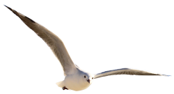 Gull Bird PNG Transparent Image