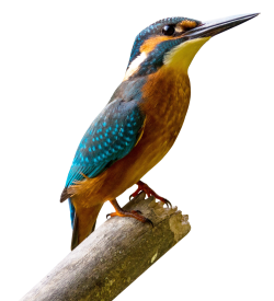 Kingfisher Bird PNG Transparent Image