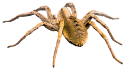 Spider PNG Transparent Image