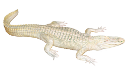 White Crocodile PNG Transparent Image