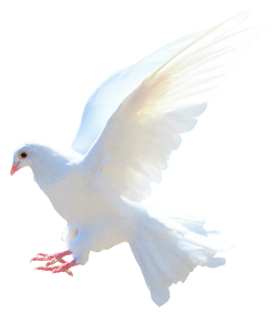 Dove PNG Transparent Image