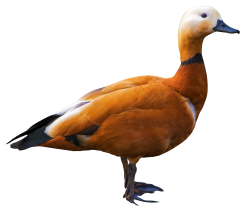 Shelduck PNG Transparent Image
