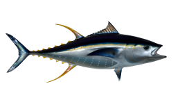 Tuna Fish PNG Transparent Image