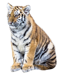 Tiger PNG Transparent Image
