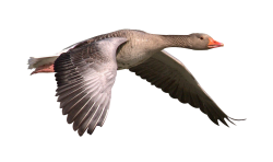 Canada geese PNG Transparent Image